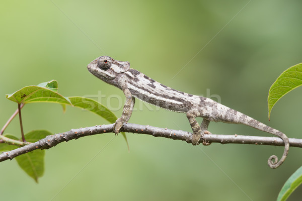 Flap-necked Chameleon (Chameleo dilepis) erect on  a branch Stock photo © davemontreuil
