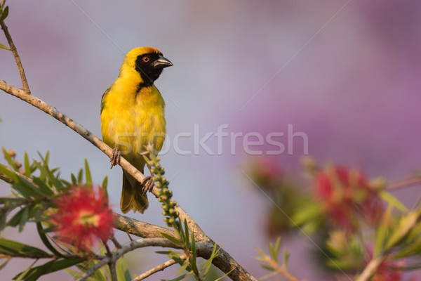 Southern masked weaver (Ploceus velatus) male perched on top of  Stock photo © davemontreuil