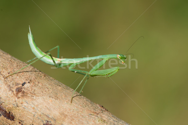 Praying Mantis from West Africa Stock photo © davemontreuil