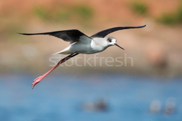 Volo uccello africa bella battenti bella Foto d'archivio © davemontreuil