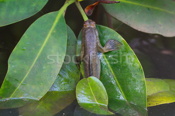 Stock photo: Mudskipper crawling out of water on leaf