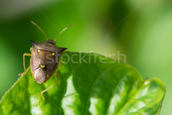 Three Spot Shield Bug Stock photo © davemontreuil