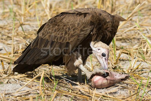 Hooded Vulture (Necrosyrtes manachus)   feeding Stock photo © davemontreuil