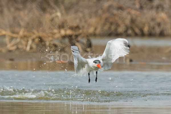 Caspian Tern in flight after a dive in the mangroves Stock photo © davemontreuil