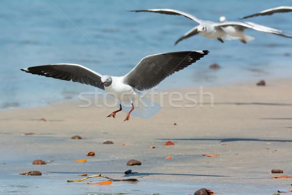 Grey-Headed Gull landing on the beach Stock photo © davemontreuil