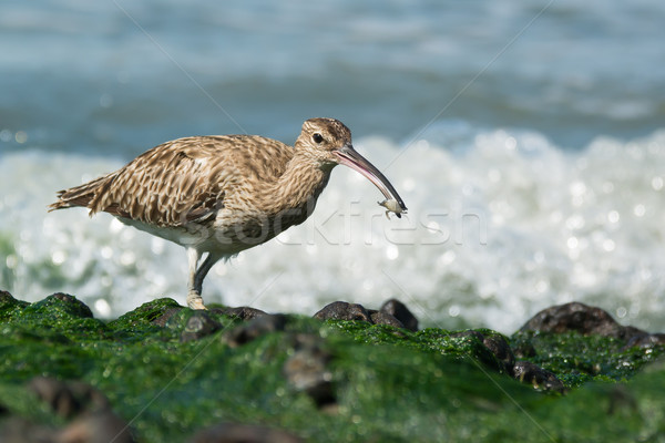 Whimbrel carrying a small crab Stock photo © davemontreuil