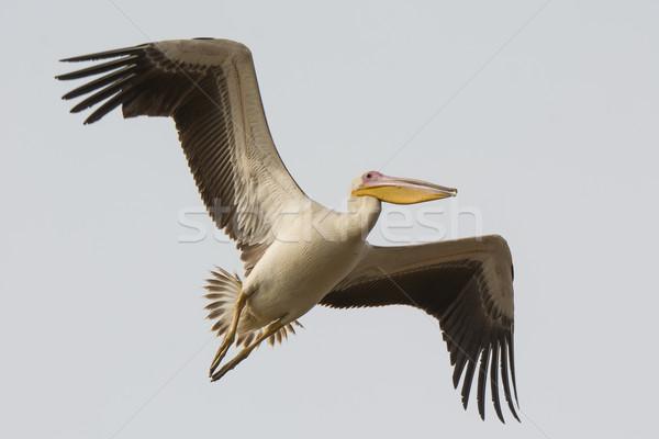 Groot witte vlucht hemel vogel afrika Stockfoto © davemontreuil