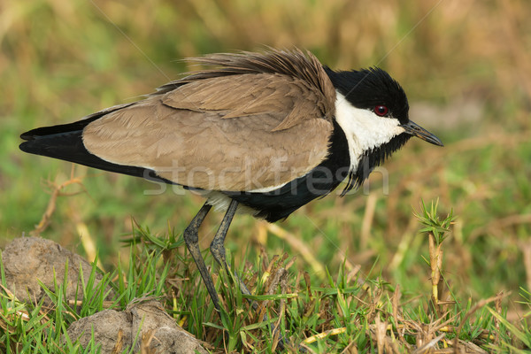 Spur-Winged Lapwing (Vanellus Spinosus) with feathers fluffed Stock photo © davemontreuil