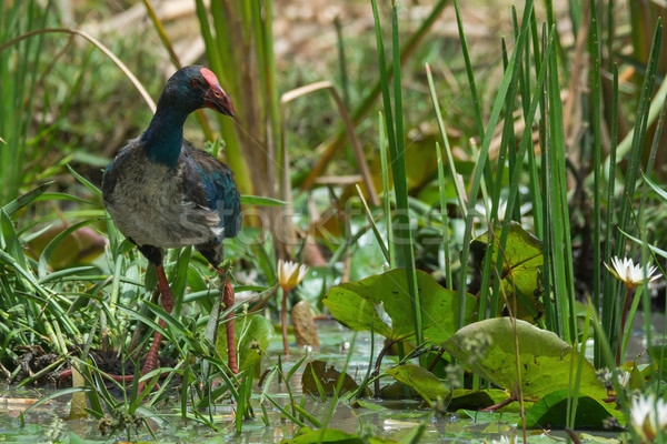 A young Purple Swamphen (Porphyrio porphyrio) in a marsh with li Stock photo © davemontreuil