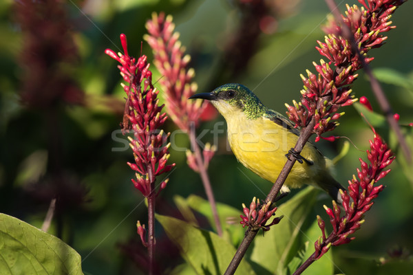 Collared sunbird (Hedydipna collaris) female perched amongst flo Stock photo © davemontreuil