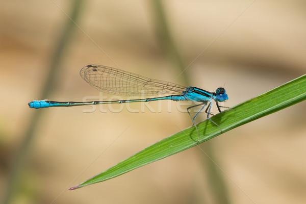 Minuscolo palude africa bella macro libellula Foto d'archivio © davemontreuil