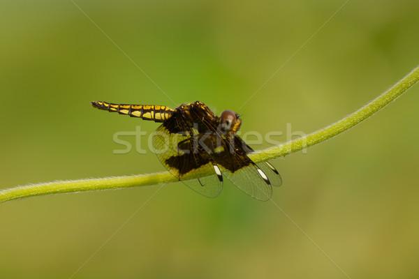 Geel libel zwarte vleugels Stockfoto © davemontreuil