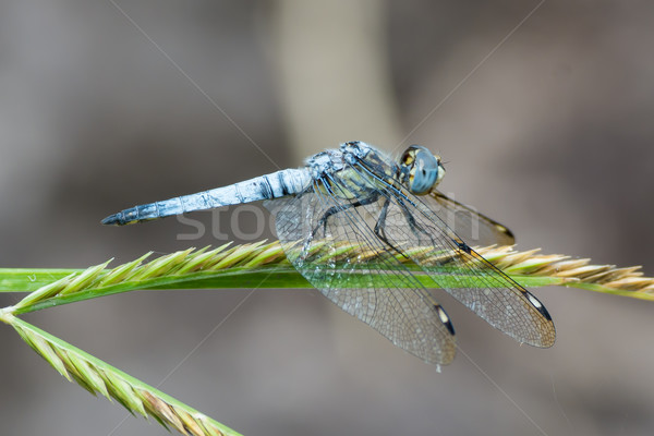 Light Blue Dragonfly (Palpopleura deceptor)from West Africa Stock photo © davemontreuil