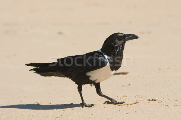 Pied Crow (Corvus Albus) Stock photo © davemontreuil