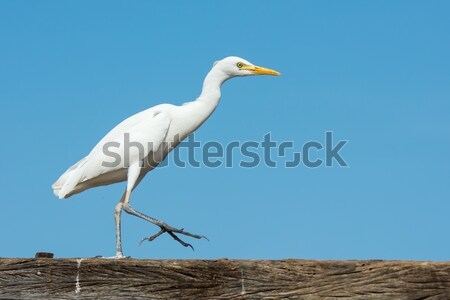 Cattle Egret tossing up a fly Stock photo © davemontreuil