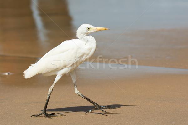 скота ходьбе пляж песок Африка Сток-фото © davemontreuil