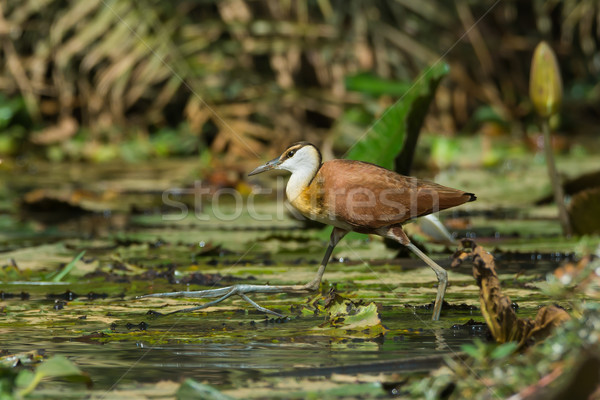 Young African Jacana in full stride Stock photo © davemontreuil