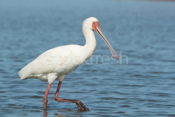 African Spoonbill wading in water Stock photo © davemontreuil