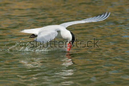 An inexperienced Caspian Tern with its head forced back learning Stock photo © davemontreuil