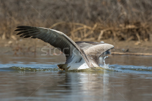 Pink-backed Pelican with its head under water diving for fish Stock photo © davemontreuil