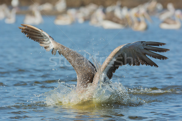 Pink-backed Pelican with its head under water catching fish Stock photo © davemontreuil