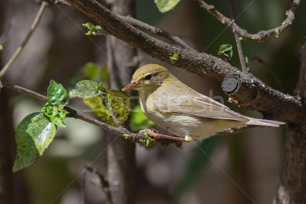 A Willow Warbler (Phylloscopus trochilus) looking for white fly Stock photo © davemontreuil