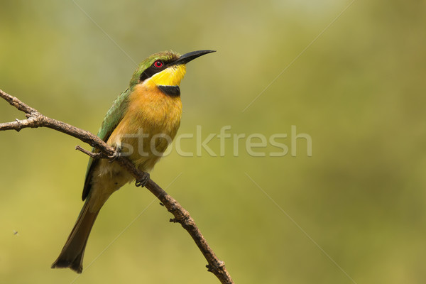 A Little-Bee Eater (Merops pusillus) looking skywards Stock photo © davemontreuil