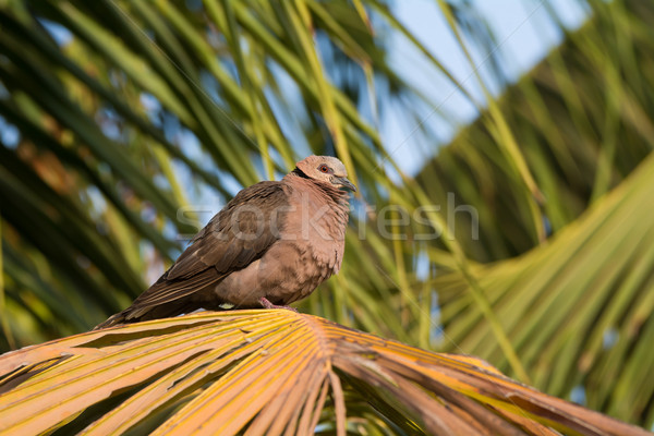 A Red-eyed Dove (Streptopelia semitorquata) perched on palm Stock photo © davemontreuil