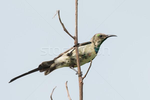 A young male Beautiful Sunbird (Nectarinia pulchella) gaining hi Stock photo © davemontreuil
