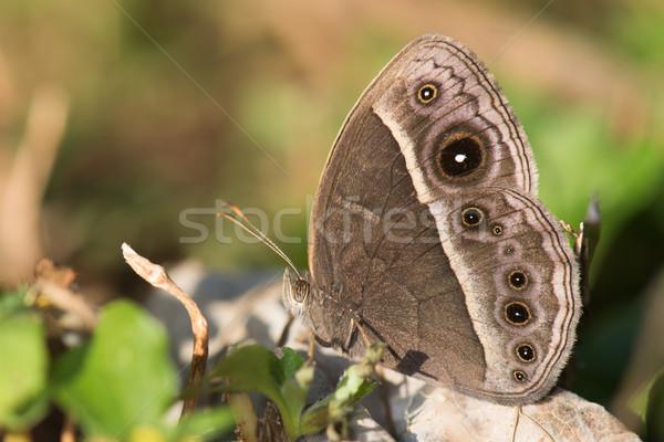 Bush rosolare farfalla umido stagione forma Foto d'archivio © davemontreuil