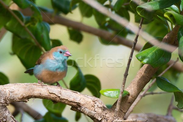 女性 鳥 赤 ストックフォト © davemontreuil