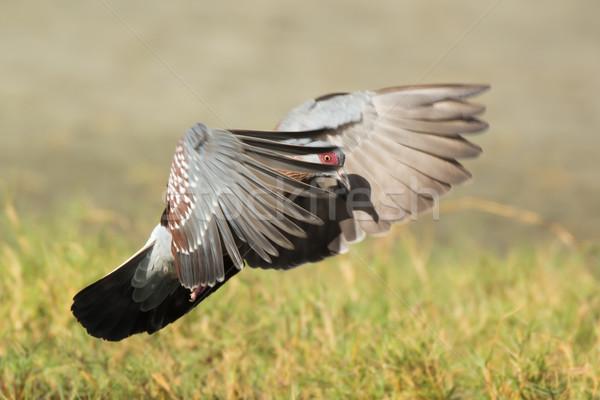 Pigeon Guinée vol caché oiseau Photo stock © davemontreuil