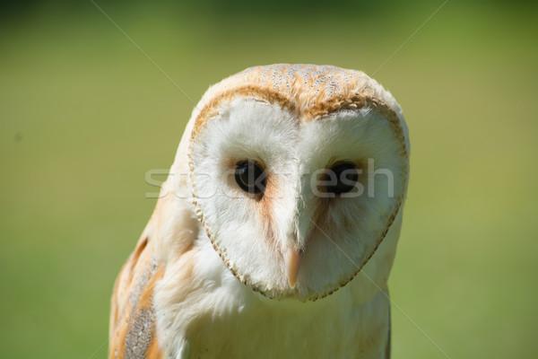 Headshot of Common Barn Owl Stock photo © davemontreuil
