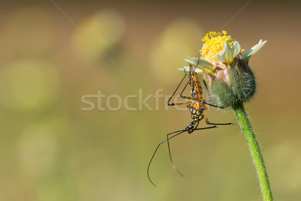 Flower Assassin bug waiting for prey Stock photo © davemontreuil
