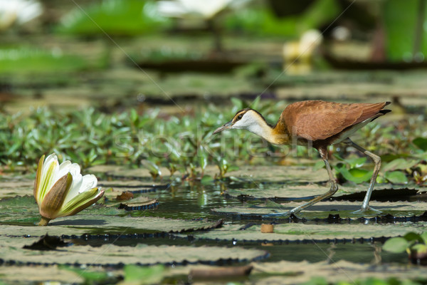 Young African Jacana walking on lily pads Stock photo © davemontreuil