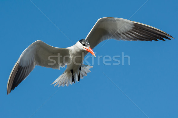 Caspian Tern hovering in flight  Stock photo © davemontreuil