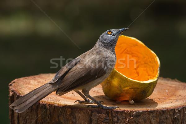 Brown Babbler looking up from eating papaya Stock photo © davemontreuil
