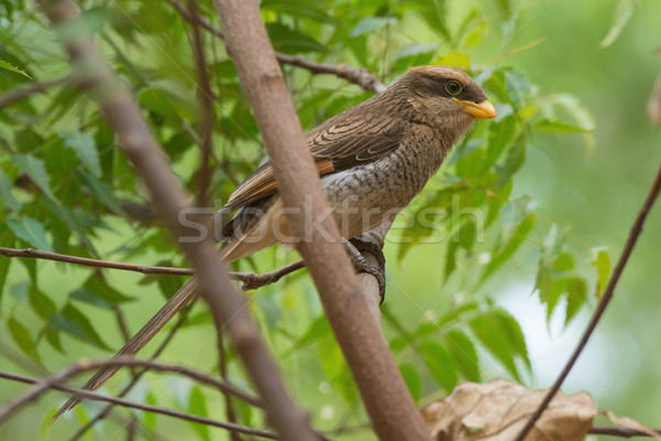 A Yellow-billed shrike (Corvinella corvina) perched in a young t Stock photo © davemontreuil