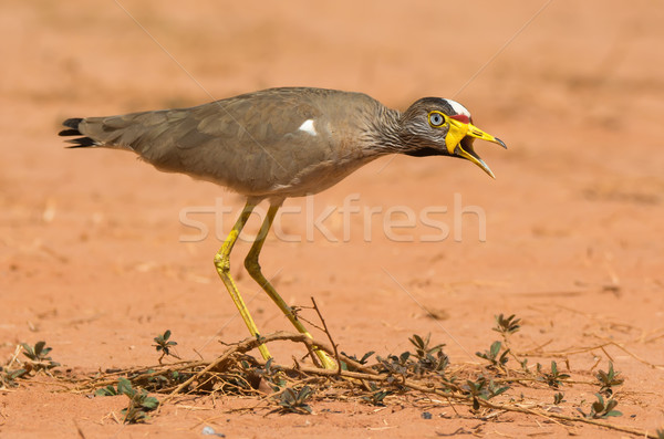 An African Wattled Lapwing (Vanellus Senegallus) calling out a w Stock photo © davemontreuil