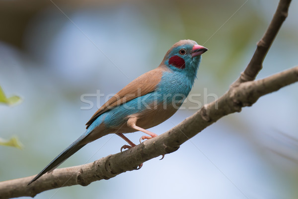 A male Red-Cheeked Cordon Bleu (Uraeginthus bengalus) perched on Stock photo © davemontreuil