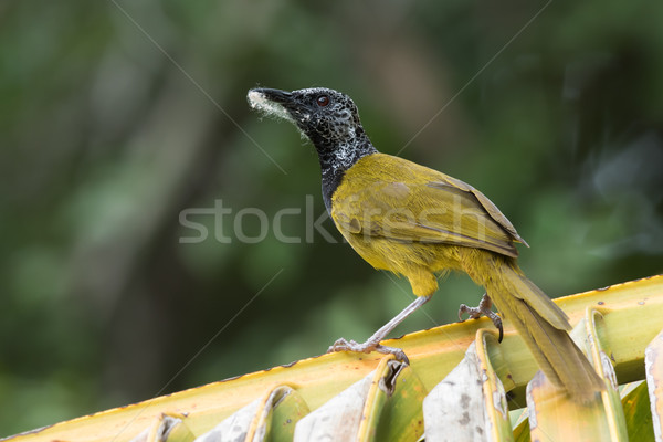 An Oriole Warbler (Hypergerus atriceps) on a palm leaf with nest Stock photo © davemontreuil