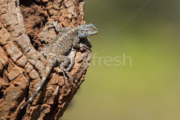 An Agama Lizard resting on the bole of an avocado tree Stock photo © davemontreuil
