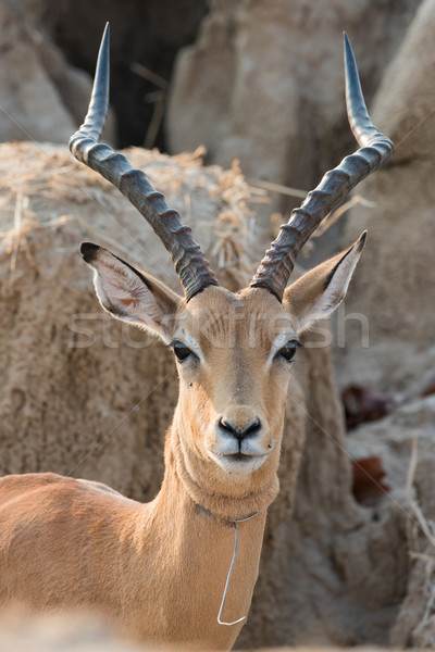 A male impala (Aepyceros melampus) that has broken free from a w Stock photo © davemontreuil