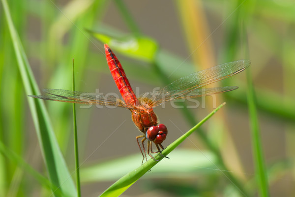Bright Red Dragonfly from West Africa Stock photo © davemontreuil