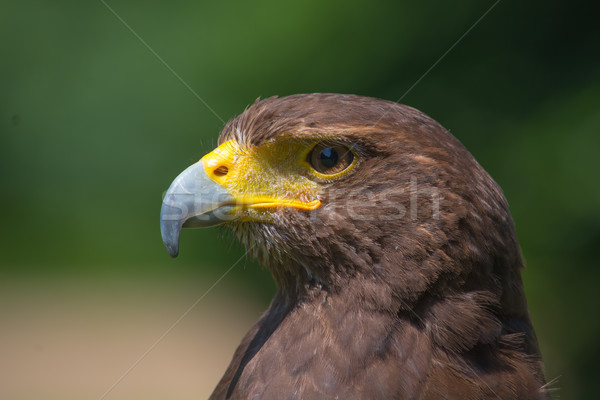 Harris Hawk Portrait Stock photo © davemontreuil