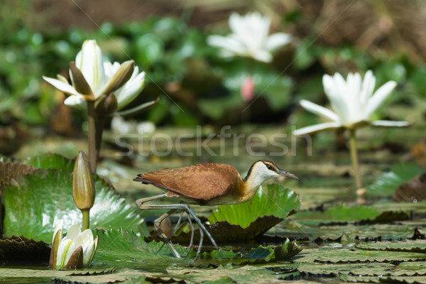 Young African Jacana walking across a lily pad strewn pond Stock photo © davemontreuil