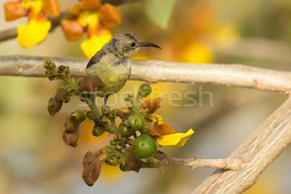 Female Beautiful Sunbird perched in a blossoming tree Stock photo © davemontreuil