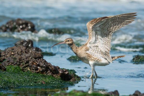 Whimbrel landing in a tidal pool Stock photo © davemontreuil