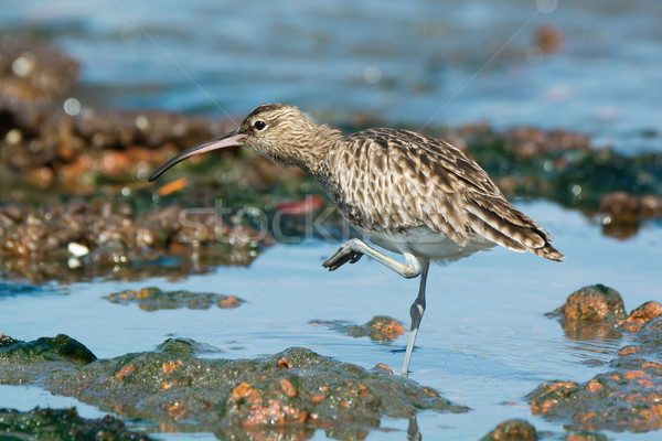Whimbrel with one foot in the air Stock photo © davemontreuil