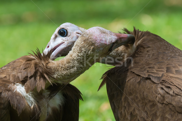 Two Hooded Vultures preening each other Stock photo © davemontreuil